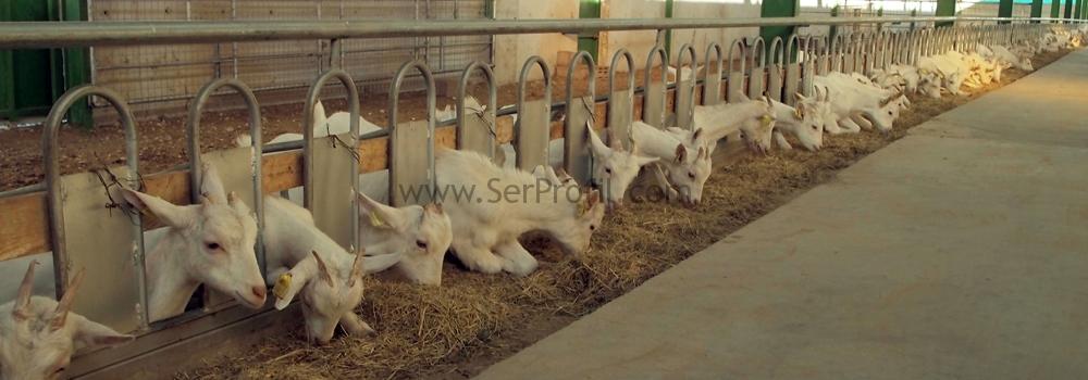 keçi ahırları,saanen keçisi yetiştiriciliği, saanen keçisi devlet desteği, keçi ağılı, en uygun koyunculuk projesi nerede yapılır, keçi ağılları, keçi ahır projeleri, devlet desteklemeli hayvancılık süt keçisi, keçi ahırı projesi, ahır projeleri, saanen keçi ağılı planı, keçi ağıl çizimleri, keçicilik karlı mı, modern keçi ağılı, modern ağılların havalandırma sistemleri, saanen keçisi ağılı, koyun ağıl projesi, modern koyun ağılı, prefabrik ahır fiyatları, koyun keçi yetiştiricileri karlımı, keçi ağıl planları, keçi ahiri projesi,