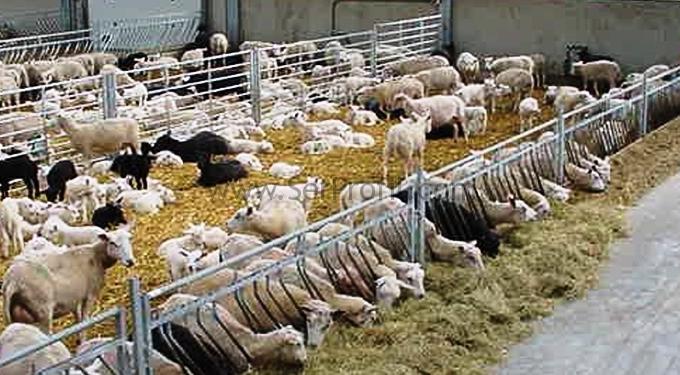 Modern Küçükbaş Hayvan Çiftlikleri, Koyun Ahır Ağıl Projeleri ve Anahtar Teslim Fiyatları