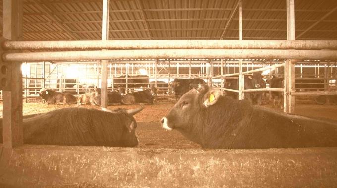 2017 Açık Besi Ahırı M2 Fiyatı, Satılık Büyükbaş Hayvan Besi Çiftliği