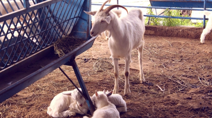 Küçükbaş Hayvan Koyun Keçi Besi Çiftliği Projesi ve İnşaatı Uygun Fiyata Yapılır