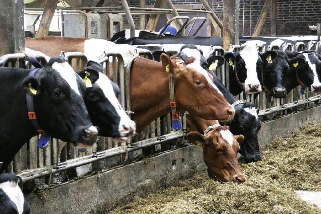 Büyükbaş İnek Süt Sığırcılığı Çiftliği Ahır Projesi Maliyeti Kurulumu Fiyatları, Büyükbaş İnek Süt Sığırcılığı Çiftliği Ahır Projesi Maliyeti Kurulumu, Büyükbaş İnek Süt Sığırcılığı Çiftliği Ahır Projesi Maliyeti Fiyatları, Büyükbaş İnek Süt Sığırcılığı Çiftliği Ahır Projesi Kurulumu Fiyatları, Büyükbaş İnek Süt Sığırcılığı Çiftliği Ahır Maliyeti Kurulumu Fiyatları, Büyükbaş İnek Süt Sığırcılığı Ahır Projesi Maliyeti Kurulumu Fiyatları, Büyükbaş İnek Süt Çiftliği Ahır Projesi Maliyeti Kurulumu Fiyatları, İnek Süt Sığırcılığı Çiftliği Ahır Projesi Maliyeti Kurulumu Fiyatları,   inek çiftliği projesi, 20 başlık ahır projesi maliyeti, çiftlik projeleri maliyeti, besi çiftliği projesi örnekleri, inek çiftliği kurma maliyeti, besi çiftliği kurma maliyeti, büyükbaş hayvan çiftliği kurmak istiyorum, besi çiftliği projeleri ve fizibilite raporları, 50 başlık ahır projesi,