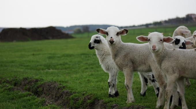 Modern Koyun Yetiştirme Çiftliği Projeleri Devlet Desteği Yapım Fiyatları 2017
