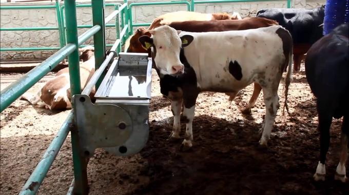 Büyükbaş MANDA Hayvan Çiftliği Kurmak, MODERN Manda Ahır Projeleri Fiyatı