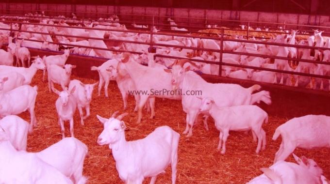 Modern Koyun Keçi Barınakları, Küçükbaş Ahır Projeleri İnşaat Yapım Fiyatları