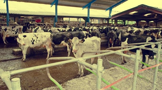 100 Büyükbaş Kapasiteli Açık Besi Çiftliği Ahır Projeleri Anahtar Teslim Fiyatları