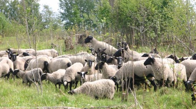 Küçükbaş Hayvan Koyun Keçi Yetiştiriciliği Ağıl Ahır Fiyatları Projeleri