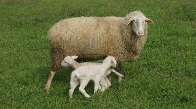İdeal Küçükbaş Koyun Keçi Ağıl Projeleri Tipleri Maliyet Hesapları Fiyatları