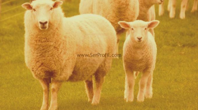 MODERN 500 Başlık Küçükbaş Koyun Keçi Ağılı Çiftlik Projeleri Maliyeti Fiyatı