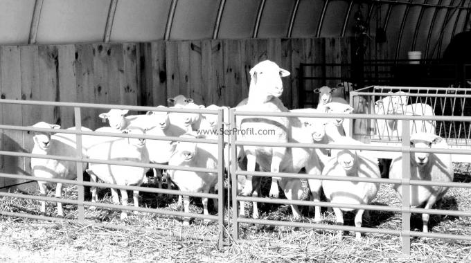 Koyun Keçi Modern Küçükbaş Hayvan Çiftlikleri Projeleri Fiyatları